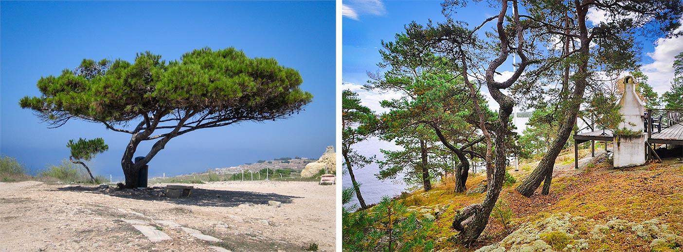 İsveçlilerin martallar, Almanların Alptraum-Kiefer dediği ağaçlar