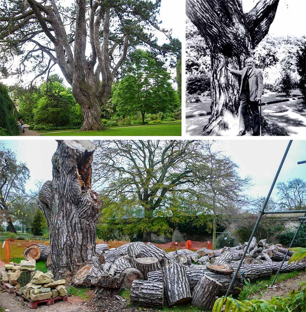 Tolkien'in son fotoğrafını gölgesinde verdiği en sevdiği ağacı, düşen bir dalı bahane edilerek 2014 yılının Ağustos ayında Oxford Botanik Bahçesi yetkilileri tarafından kesilmişti.